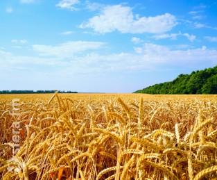В Подмосковье начали выращивать «Немчиновскую 85». Это новый сорт пшеницы с высоким содержанием белка