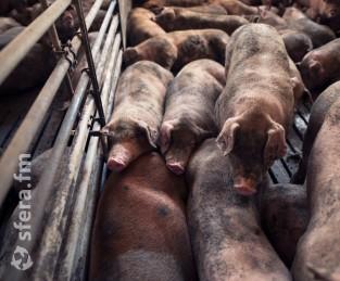 На двух фермах в Приморье обнаружили АЧС