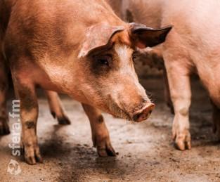 В Казахстане построят украино-швейцарский свинокомплекс