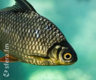 Основной объем аквакультуры в первом полугодии 2021 года выращен в Северо-Западном округе