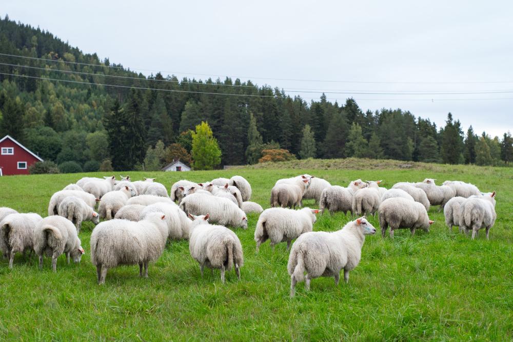 Подмосковная ферма получила 152 овцы из Австрии