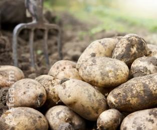 Два новых отечественных сорта картофеля прошли испытания в поле
