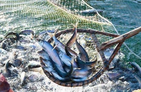 Налоговая нагрузка для рыбодобывающих предприятий значительно занижена