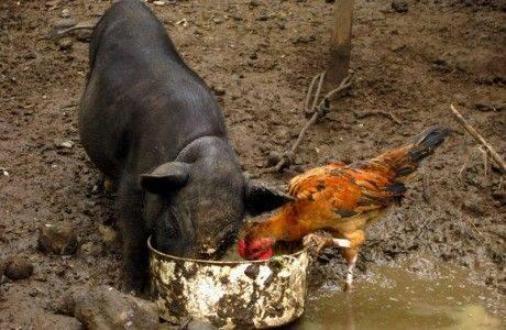 Магаданская область: В хозяйствах всех категорий сократилось поголовье свиней и птицы