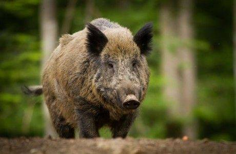 одноэтажного африканская чума свиней ярославль 2016 что женатый мужчина