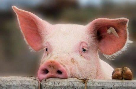 Лукашенко требует от правительства решить проблему со свининой