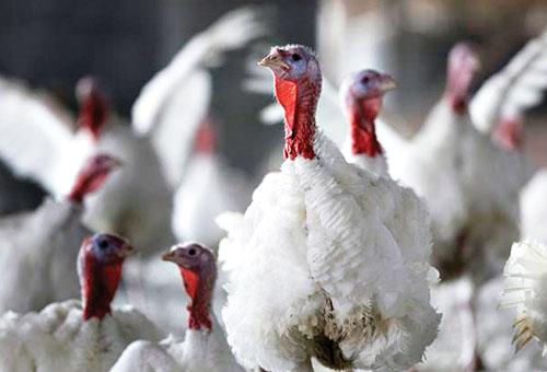 В Саратовской области началось производство мяса индейки